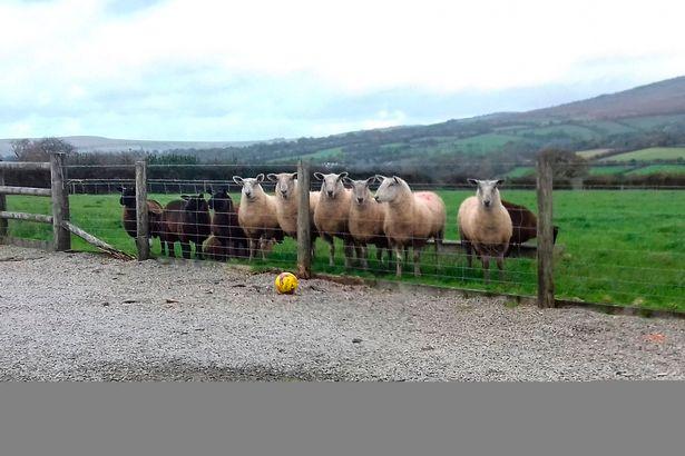 牧羊犬寶寶聽到祖先呼喚拼命把不認識的一羊群趕回家,霸氣「攻佔廚房」主人崩潰狀況超慘