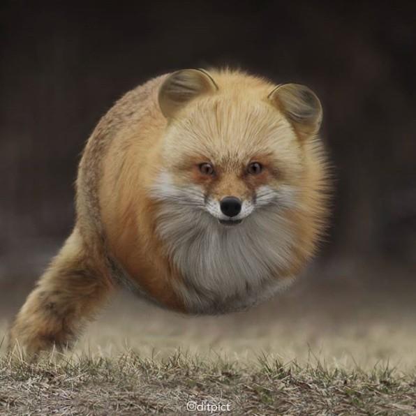 17张各种动物「变成球形」可爱到让人会心律不整的图片! -Screen-Shot-2017-11-14-at-11.21.10-AM