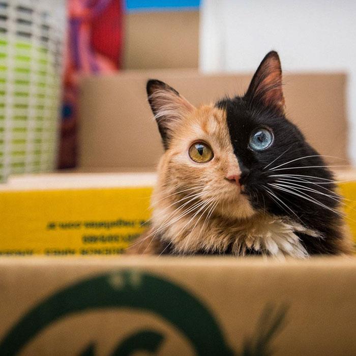 像是「2隻小貓合在一起」的絕美貓咪是「最美好的意外」 脖子以下毛色更是驚奇!