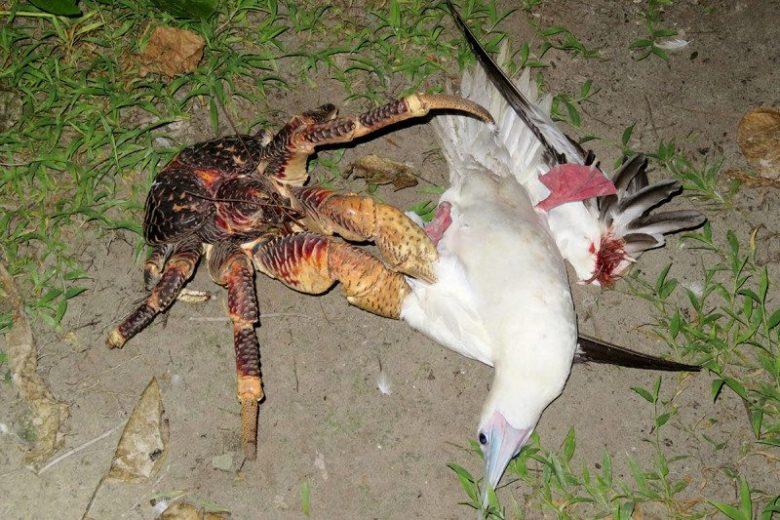 大自然的罕見暴力片!哥吉拉級「椰子蟹」被拍到用蟹螯獵殺海鷗!(影片慎入)