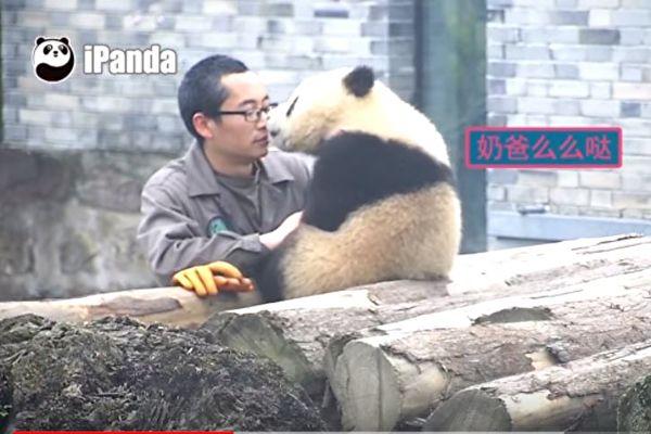 史上最萌熊貓寶寶撒嬌無極限,「偷親飼育員N次」手機一拿出來自拍時「舉動超萌」! (影片)