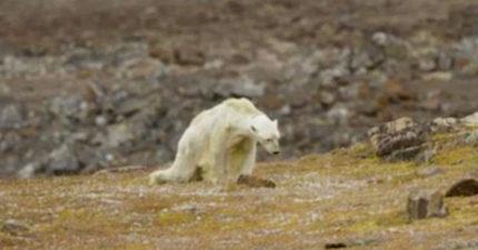 超震撼「皮包骨北極熊」倒地等死影片,讓攝影團隊流淚拍攝...