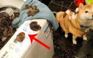 他幻想家中小柴犬奇蹟報恩,回家後看到「整鍋洗衣機煮木耳湯」崩潰倒地!柴柴:怎麼樣我很棒吧?