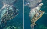動物界超級英雄!發現海龜「被魚線纏住」,英勇海豹撲上去咬斷解困!