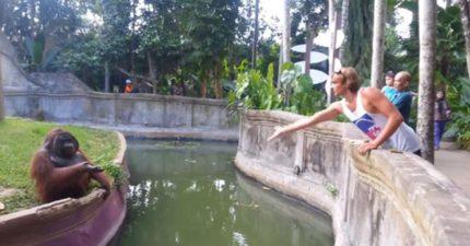 為何動物園猩猩區都有「護城河」?背後藏著60年「操到溺死殘忍實驗」