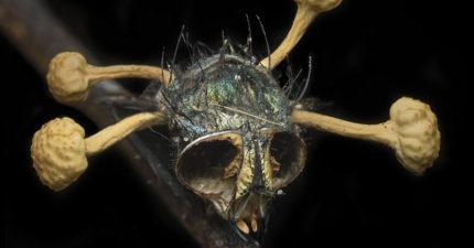 蒼蠅「感染真菌」遭菌種爆頭,死後「被操控到處飛」成致命殭屍!