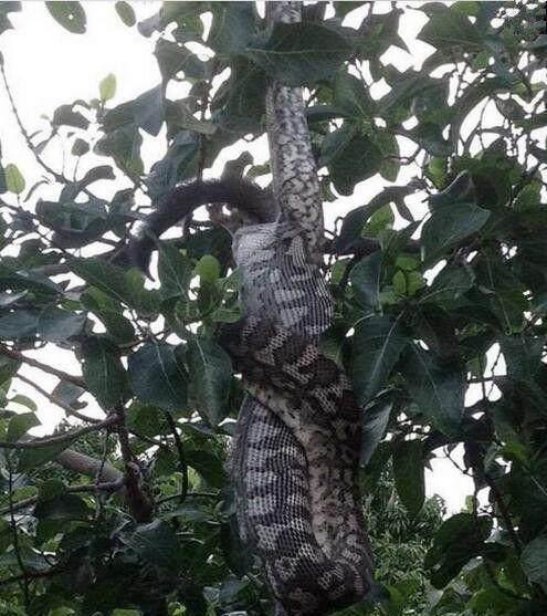 一大早開窗驚見「巨蟒吃早餐」! 實況轉播「吞猴秀」嚇到閃尿…