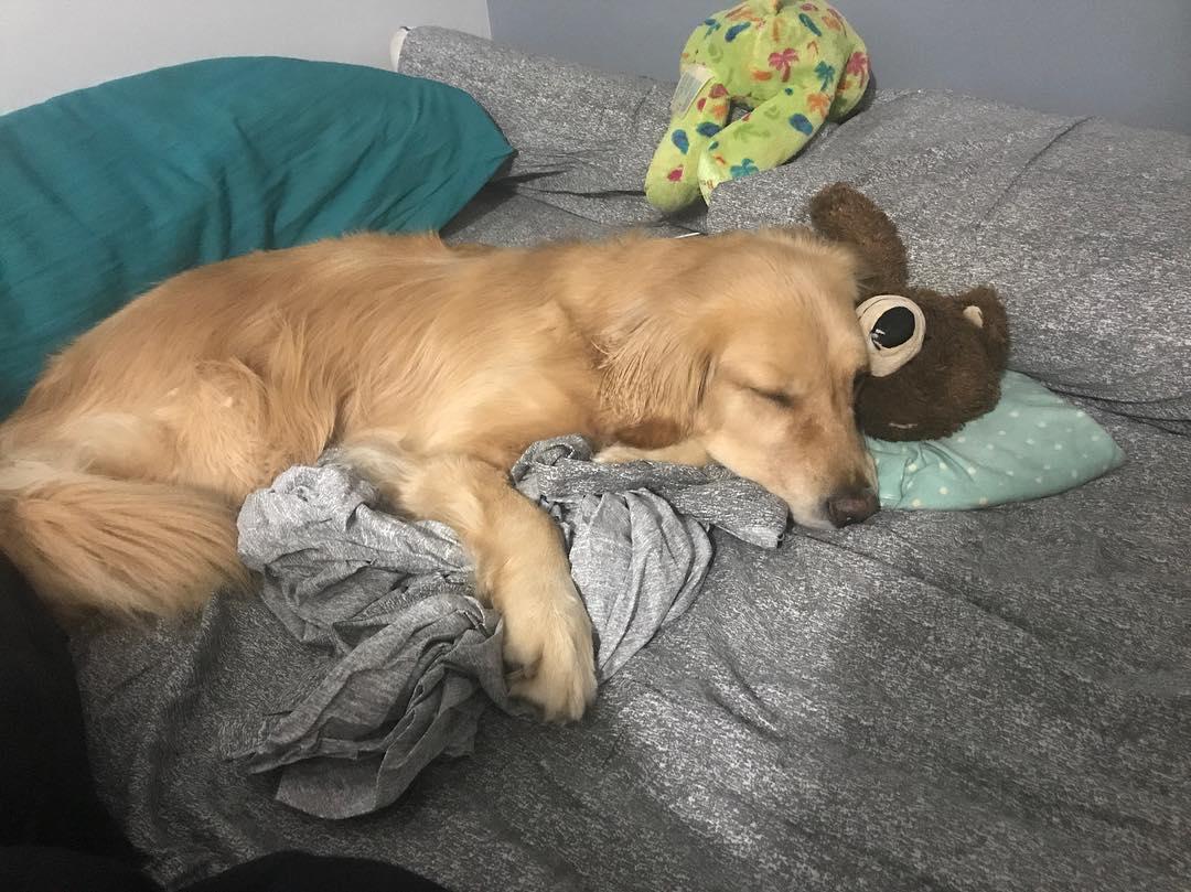 這隻黃金每天都要「選玩具陪睡」,自從家裡出現「萌萌新夥伴」畫面有愛到爆表!