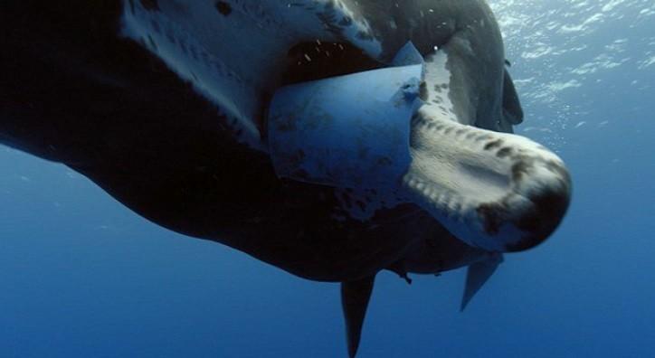鯨魚餓到「嚼塑膠碎片」慘卡在喉嚨吐不出來!他:「人類是最大兇手」一年製造的垃圾量嚇死人!
