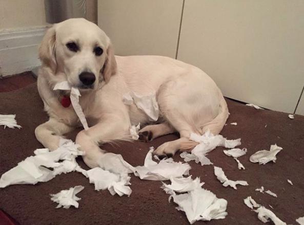 27隻「很明顯就不是他們幹的」超萌眼神無辜嫌犯狗狗