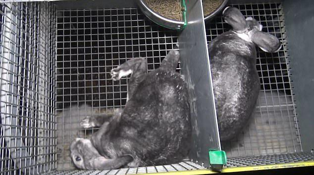 最血腥「兔子皮草養殖場」實況曝光,「割喉放血+滿身傷口」全網氣瘋!這幾個品牌最愛用 (12張+影片)