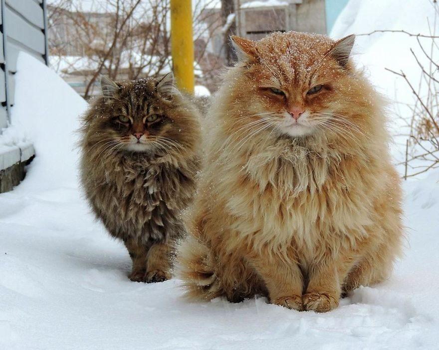 西伯利亞貓軍隊佔領「一整個農場」超霸氣 主人:為牠們感到驕傲