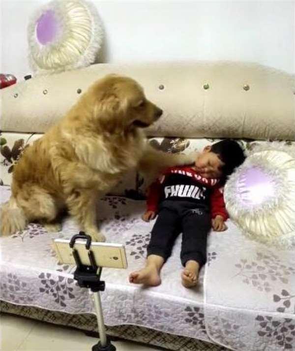 黃金獵犬「見小主人熟睡」怕著涼,下一秒轉身「超多洋蔥」...主人:沒白養!