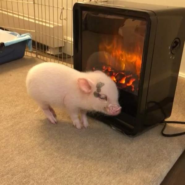 寵物小豬「在暖爐旁取暖」表情好舒服 ,蠢萌模樣暖翻5萬網友:有聞到香味...(影片)
