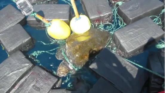 海龜身上綁15.7億元差點要牠命!粗繩纏全身「817kg古柯鹼」磨到四肢發炎血跡斑斑...(影片)