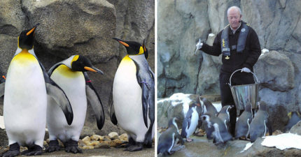 我們都搞錯了!天氣太冷動物園館長強制「帝王企鵝待在室內」不准出去,不然太危險