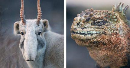 攝影師花2年到世界各地拍攝「瀕臨絕種動物」,「動物遺照」現在不拍以後沒機會了...(30幾張)