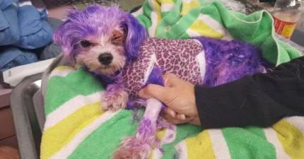 狗狗遭染髮劑染成紫色「重傷差點慘死」…恢復後模樣「超夢幻」!