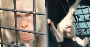 美如天使!世界唯一罕病紅毛猩猩「一身雪白」,保育機構打造「專屬天堂」遠離人類