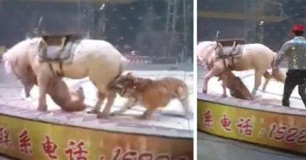白馬「被獅子+老虎瘋狂追咬」嚇到跌坐在地還被鞭打,馬戲團:很正常!(影片)