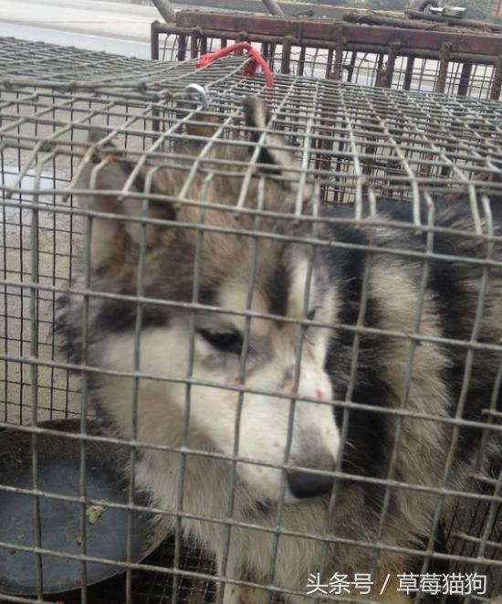 「狗肉店」搶救沒有明天的哈士奇!他好心慘被網軍「道德勒索」嗆:品種迷思!