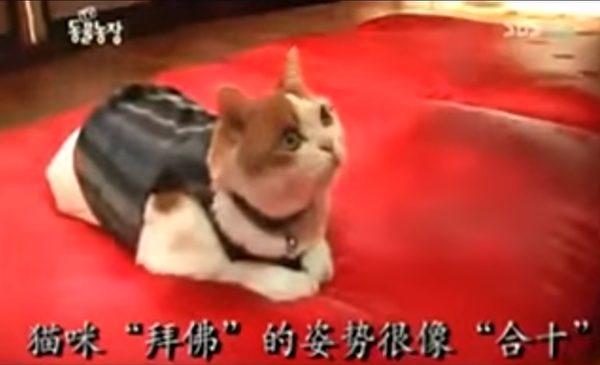 貓也信佛!這隻貓咪「不吃葷+不殺生」每天伏在佛像前,吃飯時「流下感恩的淚水」和尚都震驚了!(影片)
