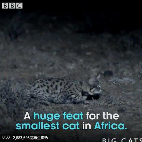 「全非洲最致命的貓科動物」超軟萌!狩獵成功率比獅子還高,掠食比他4倍大的長頸鹿「只要幾秒鐘」