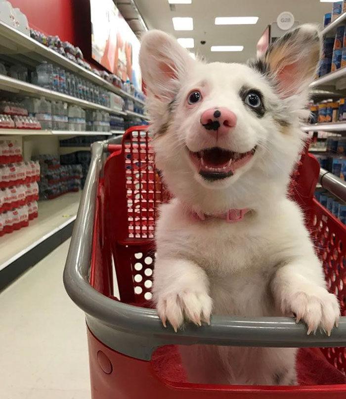 主人帶超可愛混血柯基第一次逛大賣場,超可愛反應讓50萬網友大讚、13萬分享!