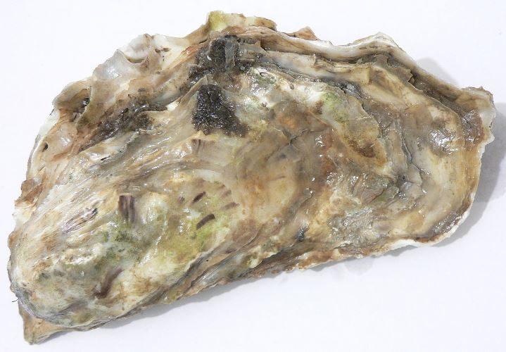 男子認為牡蠣很像「鮑鮑」跟牡蠣瘋狂愛愛,太興奮被牡蠣GG縫了67針!