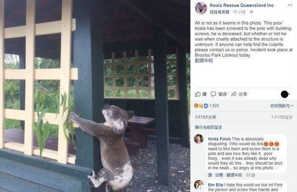 無尾熊雙手被釘住「被逼抱柱子」痛苦慘死!警方注意到「無尾熊旁的葉子」全網暴怒:兇手不是人!