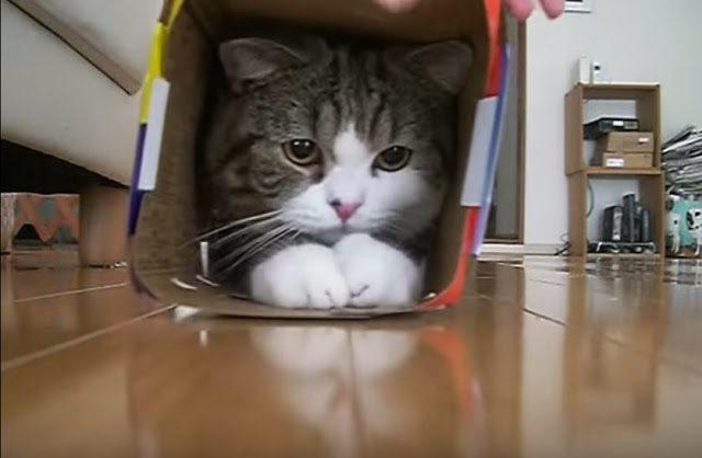 貓皇「眼神絕望」慘卡排水孔 同伴急奔去圍觀:偶們來笑你了