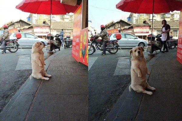短腿狗想吃炸雞「屁屁黏緊門口」不走 一轉頭「哀怨表情」:跟你耗到底!