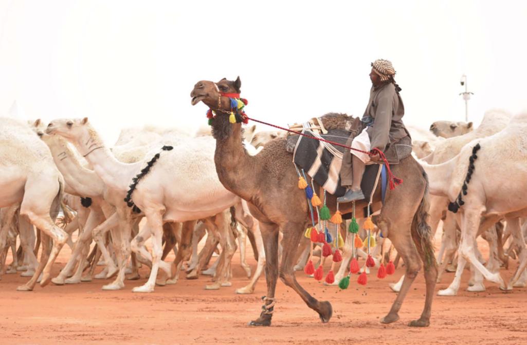 主人為了讓選美駱駝「更正」,替駱駝「打肉毒桿菌」美到喪失比賽資格!