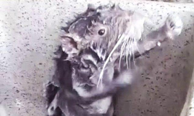 小灰鼠洗澡「用肥皂水仔細搓身體」影片網瘋傳!「超療癒淋浴濕身秀」網友看出真相 (影片)
