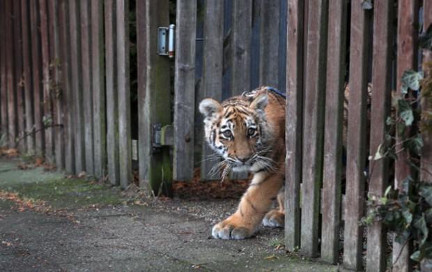小老虎被遺棄她不捨收養,幾個月「兇猛模樣成超軟萌Kitty貓」!與媽媽一起出門散步成最後幸福時光...(溫馨影片)