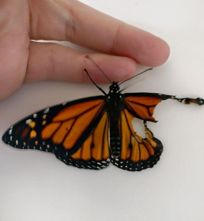 她撿到受傷蝴蝶決定「進行修復手術」 隔天見證最頑強的生命力!