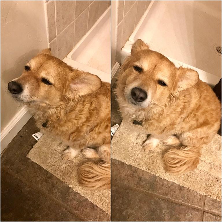 半夜起來上廁所家狗沒睡醒「但硬要跟」,沒睡醒瞇瞇睜不開萌爆全網!