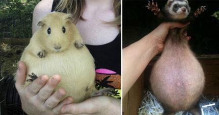 19隻看起來以為過胖 但其實是懷孕的超可愛動物準媽媽