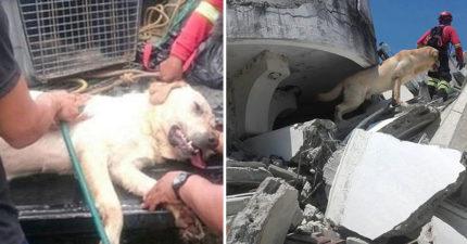 不管自己身體狀況...搜救犬穿梭倒塌房屋救到7位生還者!最後嚥下一口氣結束英雄人生「故事滿滿洋蔥」!