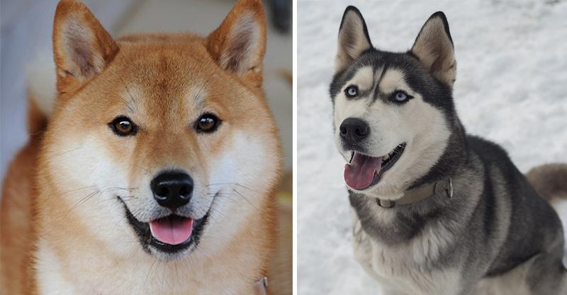 柴犬+哈士奇=? 超Q萌「柴士奇犬」完全零違和感!