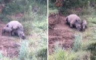 「媽媽妳怎麼了?快起來...」母犀牛被砍角橫死路邊,犀牛寶寶想喝奶用頭頂想叫醒媽媽...(影片)