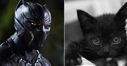 電影《黑豹》太夯!「不吉利」的黑貓瞬間變成人氣王被領養,動保團怒:不久後街上又會一堆!