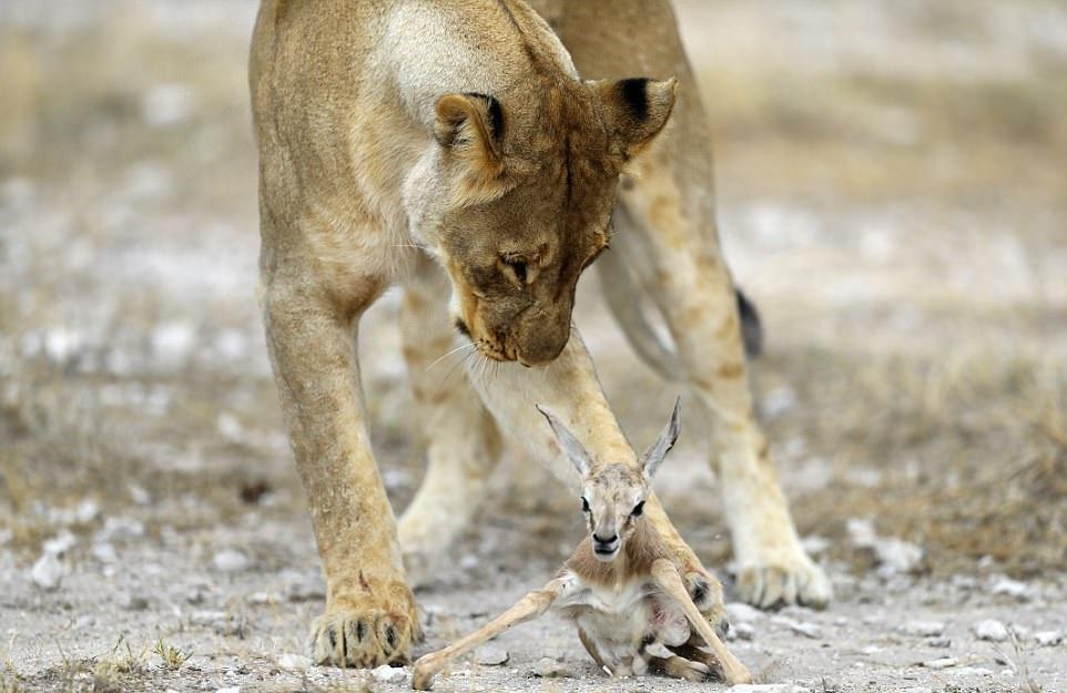 母獅霸道圈住羚羊寶寶不放「超有母愛驚人張嘴畫面」攝影師秒被暖哭!專家揭:要看到最後