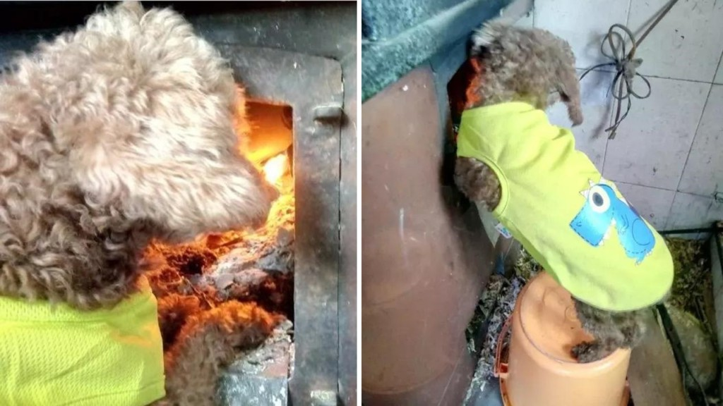小白狗「緊靠電暖器睡覺」就此改變狗生,睡醒後主人驚覺「牠竟然變成柯基!」