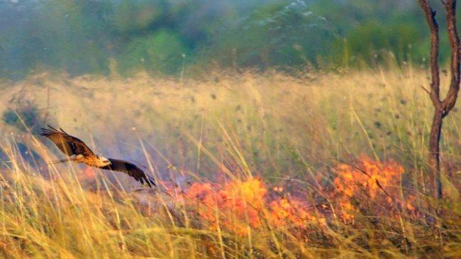 9個生物課本不會告訴你的「怪奇動物真相」 雀鷹會「放火抓獵物」比人類更聰明!