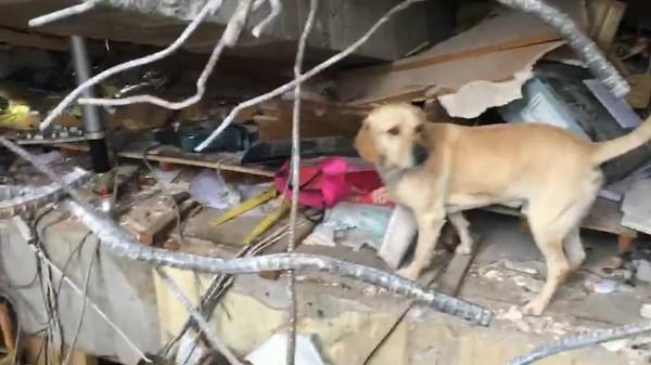 小鐵雄穿梭在統帥飯店瓦礫堆,在眾人絕望的時候「突然對著鋼筋水泥堆中狂吠!」(影片)
