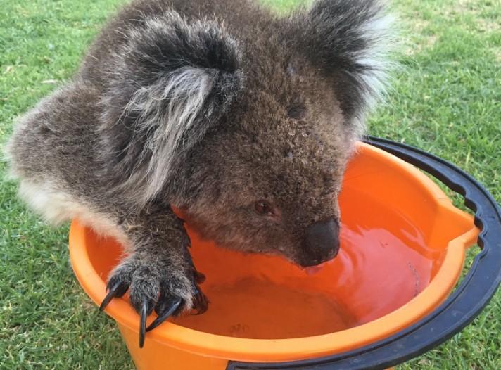 可愛無尾熊「可愛小碎步尾隨人類」,卻在喝下一桶水後「直接被安樂死!」(影片)