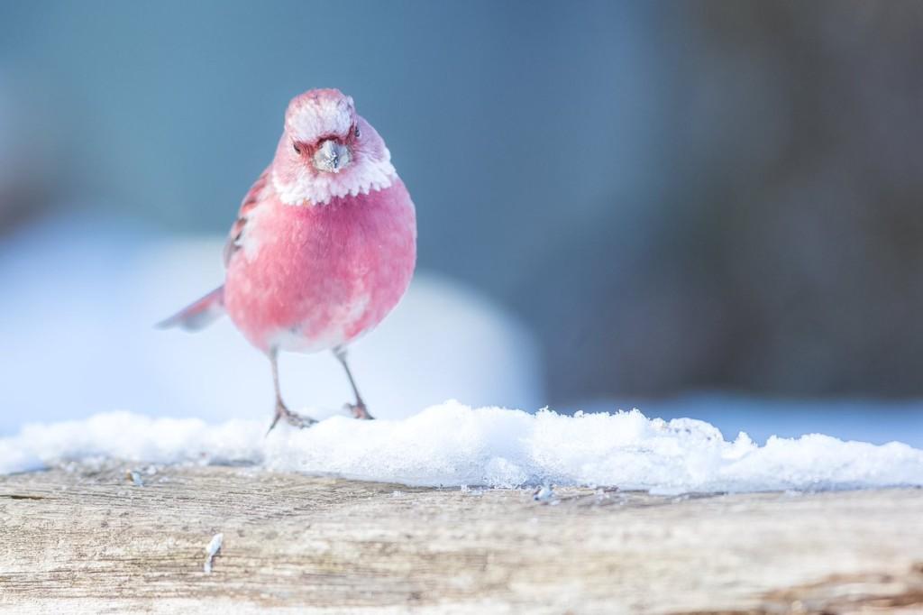 活生生的玫瑰!他在雪地拍到「粉色奇鳥」 光照片就感到滿滿戀愛運
