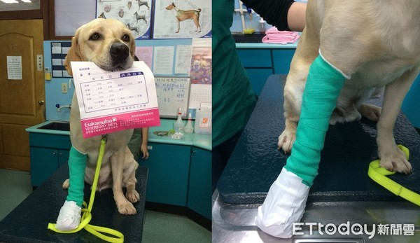 腳腳受傷忍痛不放棄搶救,鐵雄任務結束「右前腳一大包」。自己咬藥袋堅強模樣讓人不捨