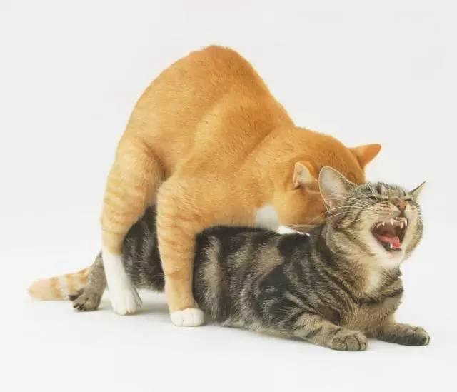 貓咪最狠的不是貓爪!公貓自帶「狼牙棒」把妹,150根倒刺發情「瞬間噴出」母貓到天堂只需要幾秒!